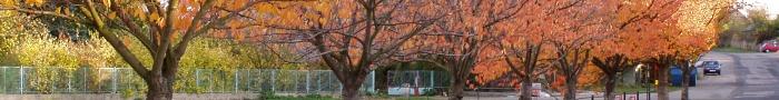Sakury na návsi na podzim